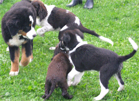 puppy training hondentraining breda